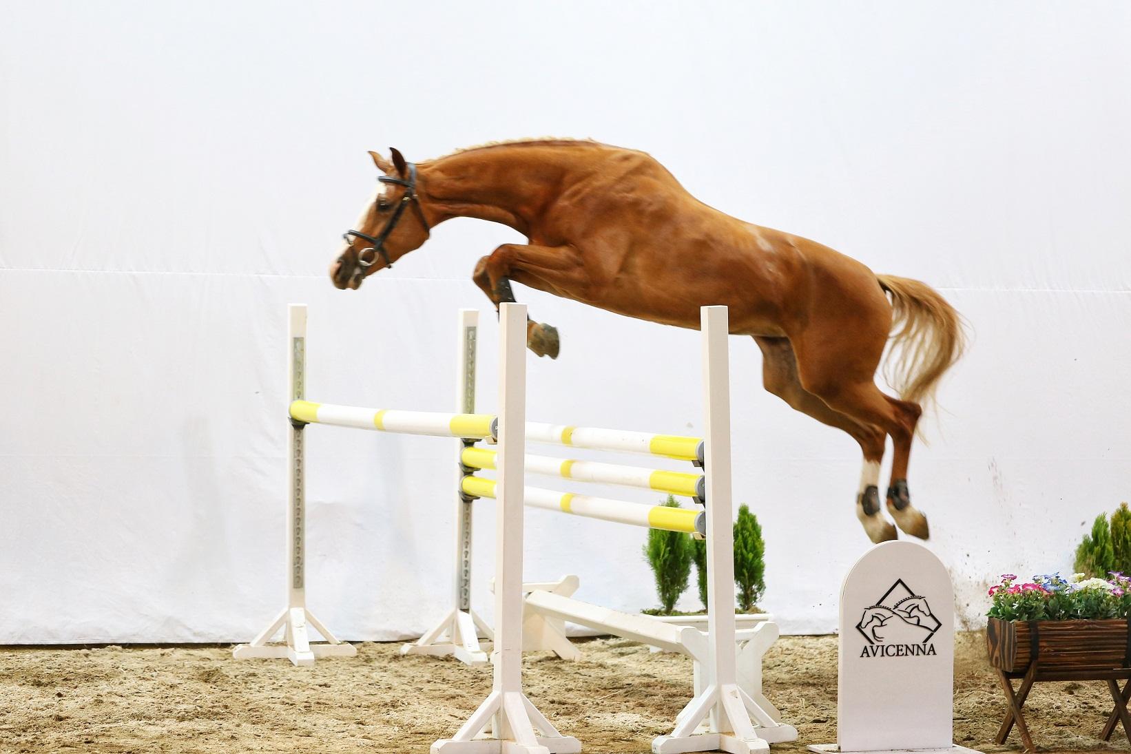 نمونه تولیدات مرکز تولید و پرورش اسب اویسینا