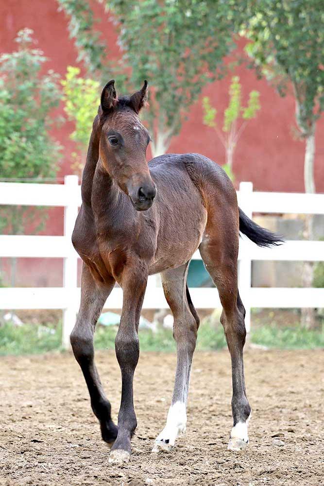 داکوتا : کره زاوال مرکز تولید و پرورش اسب اویسینا
